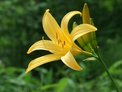 June: Broad dwarf day lily (nikko kisuge)