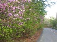 大江戸温泉付近の道路沿いのトウゴクミツバツツジ