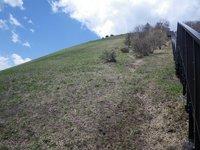 大斜面ではキスゲの芽吹きがいっぱい