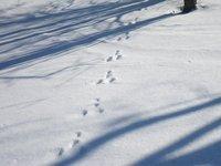 ウサギの足跡が