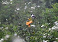 ノビタキがニッコウキスゲの花にとまっていました