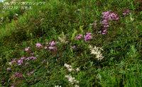 シモツケソウが咲き始めています