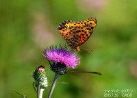 北上を続ける蝶、ツマグロヒョウモン