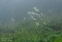 霧の中、サラシナショウマの花が浮かび上がります