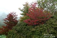 シロヤシオ紅葉始まっています
