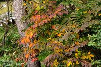 ヤマウルシの紅葉始まりました