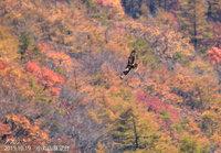 紅葉を背景に飛ぶノスリ