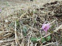 カタクリ咲き始めました 週末には見頃を迎えるでしょう