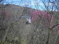 六方沢のアカヤシオが咲きだしました