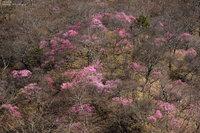 キスゲ平のアカヤシオ咲き始めです