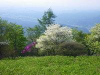 シロヤシオは8部咲きです
