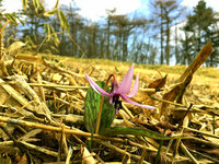 カタクリ咲き始め