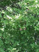 ベニサラサドウダン咲き始め