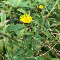 ヤナギタンポポ開花