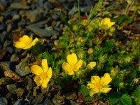 キジムシロ 開花