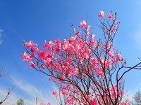 アカヤシオ 開花