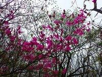 トウゴクミツバツツジ開花 丸山