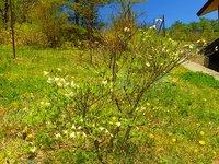 シロヤシオ 開花