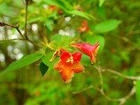 ベニバナツクバネウツギ 開花