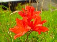 レンゲツツジ 開花