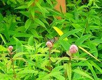 アサギマダラ ヨツバヒヨドリを吸蜜。