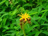 マルバタケブキ 開花