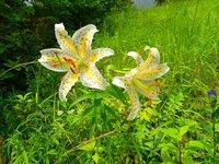 ヤマユリ 開花