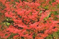 まずはつつじ類から 園内紅葉