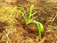今年も苗を1000株補植しました。