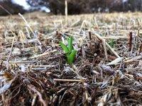 ニッコウキスゲの新芽が出てきました