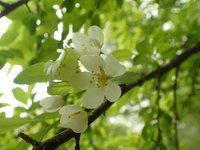 ズミ 開花