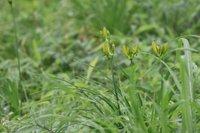 黄色い蕾が増えてきました 数日で開花となるでしょう