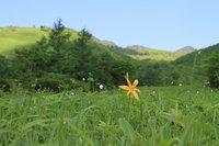 ニッコウキスゲ 開花 ※園内20輪ほど、見頃はまだ先です