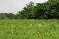 ニッコウキスゲ 500段より下1分咲き