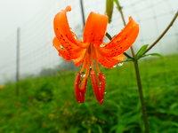 クルマユリ 開花