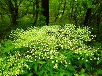 アマニュウ 開花