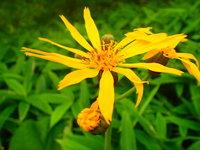 マルバダケブキ 開花