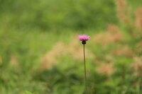 ノアザミ 開花