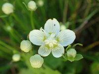 ウメバチソウ 開花