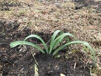 ニッコウキスゲ 今年も1000株補植しました。
