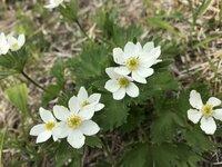 ハクサンイチゲ 開花