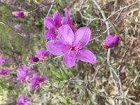 トウゴクミツバツツジ 開花