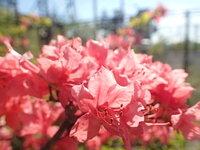 ヤマツツジ 開花