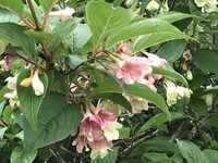 ニシキウツギ 開花