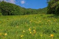 ニッコウキスゲ 500段より下 8分咲き 見頃です。