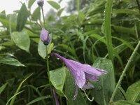 コバギボウシ 開花