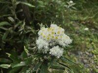 ヤマハハコ 開花